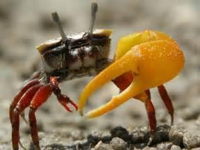fiddler crab genus uca our wild world