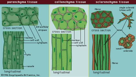 parenchyma tissue diagram sclerenchyma description types function britannica
