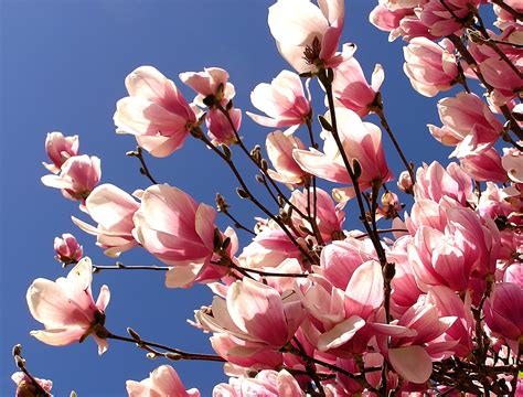 pink magnolia tree magnolia flower facts garden guides