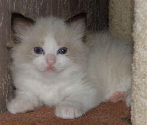 ragdoll kittens for adoption ragdoll kittens purrfect for sale adoption from mandurah