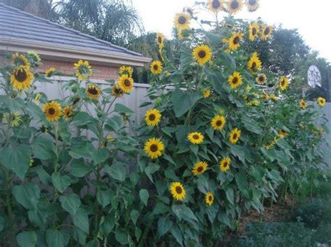 Pupuk Untuk Bunga Matahari cara menanam bunga matahari dari biji bibitbunga