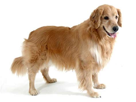 golden retriever hair length golden retriever breed golden retriever temperament grooming coat colors
