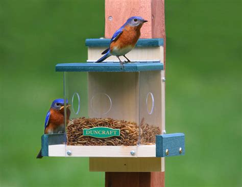 clearview bluebird feeder delightful bluebird mealworm