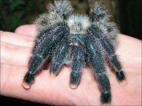 The Pink Tarantula beginner s guide to the pink toe tarantula