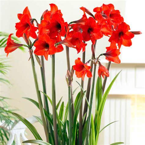 amaryllis bulb red garden dobies