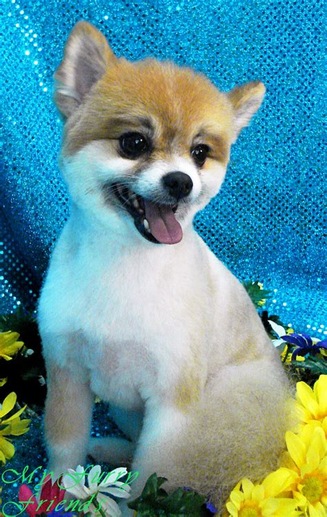 pomeranian with pet grooming the the bad the grooming pomeranians