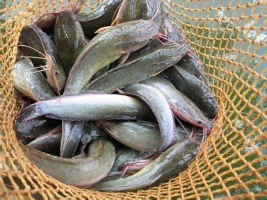 Pakan Ikan Lele Mancing Di Kolam cara memulai ternak ikan lele info terbaru 2017