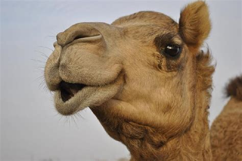 camp pendleton marines rescue camel  afghanistan kpbs