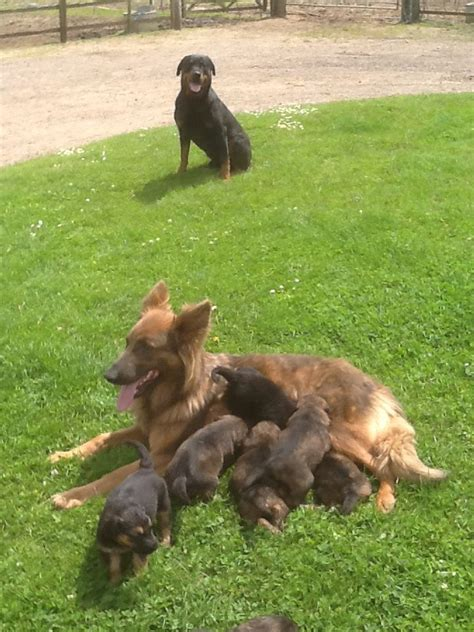 german rottweiler puppies for sale in uk german shepherd x rottweiler puppies for sale peterborough cambridgeshire pets4homes