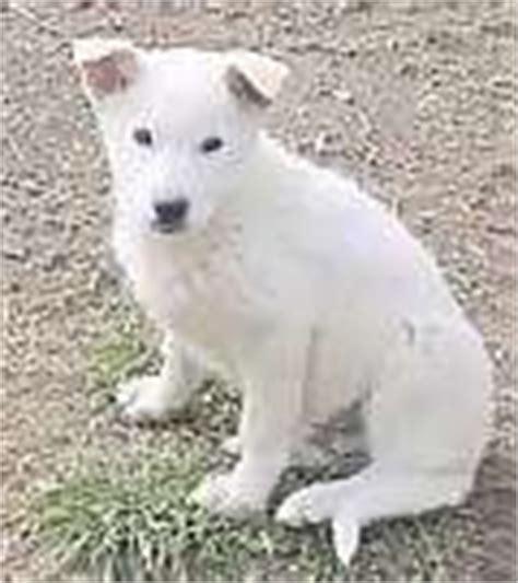 canaan puppies for sale canaan puppies for sale canaan breeders