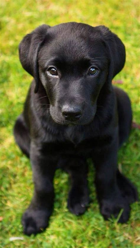 black puppy 10 adorable labrador retriever puppies you ve seen