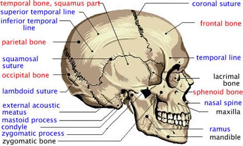 skull diagram labeled diagram of skeleton of human cranium atlas