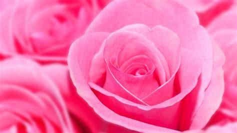 bunga ros merah jambu kertas dinding hd