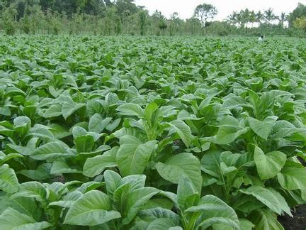 Ton Nasa Untuk Lele budidaya tembakau panduan budidaya agro