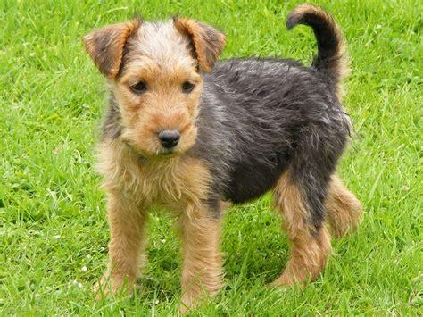 lakeland terrier puppies lakeland terrier info temperament puppies pictures