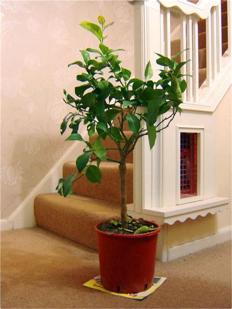 lemon indoor tree  pot outdoor garden scent citrus