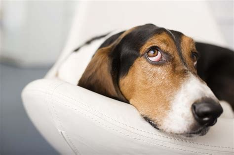 vetmedin for dogs what are the side effects of vetmedin in dogs cuteness