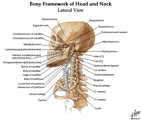 diagram of the neck 280 and neck anatomy mcq choice questions