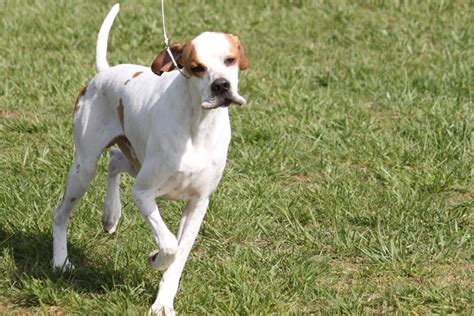 pointer breeds pointer breed information pointer images pointer breed info