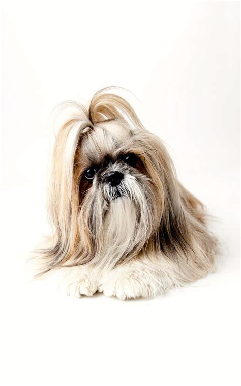 shih tzu sunglasses 97 best images about