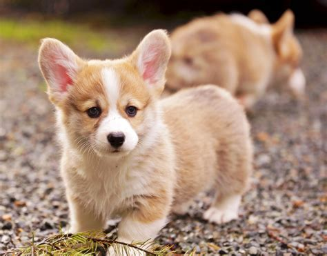 breed behavior pembroke corgis info facts temperament puppies pictures pets world