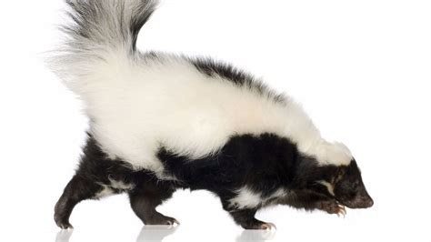 skunk shoo for dogs allentown skunk found with rabies updated pet vaccinations urged the morning call