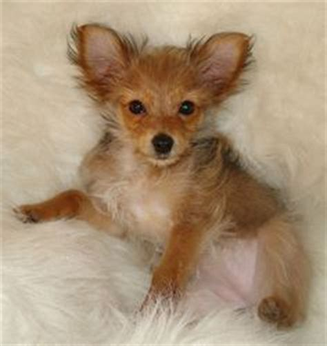 chihuahua yorkie mix for sale 1000 images about i chorkies on yorkie chihuahuas and