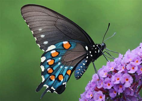 papillon pictures avant apr 232 s 19 m 233 tamorphoses spectaculaires de petites chenilles en somptueux