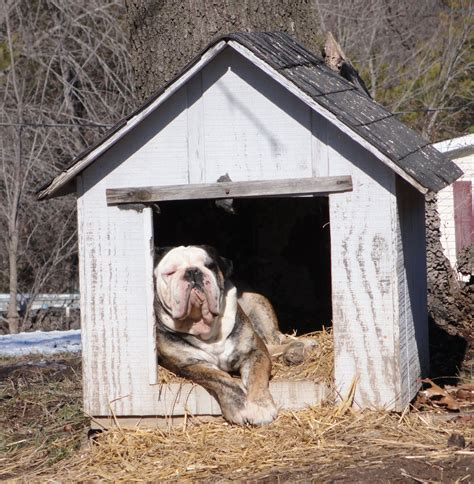 dog in house mustang dreams hemi in the dog house literally