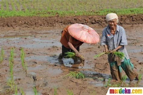 seorang nenek menanam bibit padi di sawah besar tangerang mereka bersemangat bercocok tanam di