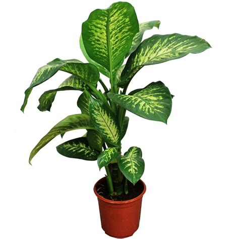 Merveilleux Plante Interieur Peu De Lumiere #6: dieffenbachia.jpg
