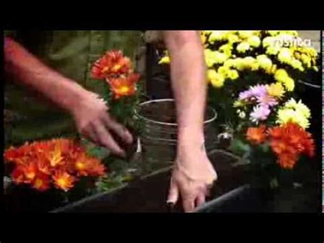 Planter Des Pensées En Jardiniere by Planter Des Chrysanth 232 Mes En Jardini 232 Re Ou En Pleine Terre