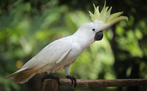 Rantai Burung Kakatua By Nd Pets kakadus papagei magazin