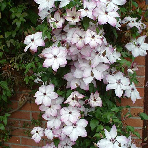 Clematis Fond Memories 3239 by Buy Clematis 3 Clematis Fond Memories Delivery