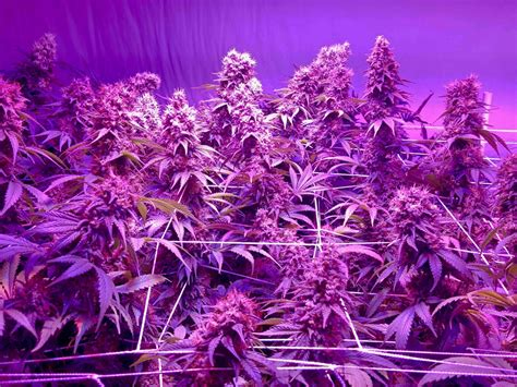 best grow lights for cannabis the right lights nutrients to use in scrog cannabis growing