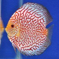 quality discus fish for sale