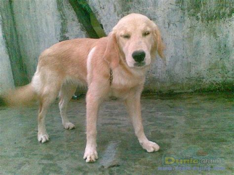 anjing golden retriever dunia anjing jual anjing golden retriever di jual anjing golden retriever