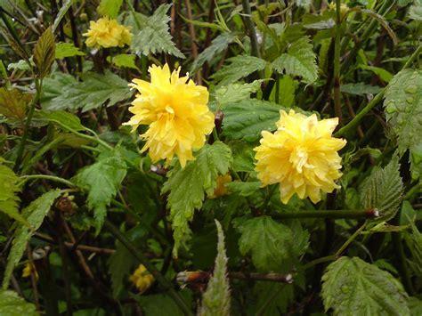 yellow flower bush shrub