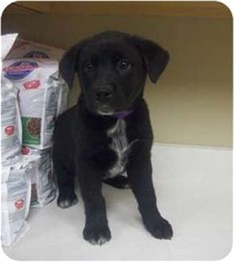 australian cattle lab mix australian cattle lab mix australian cattle dogs mixes cattle