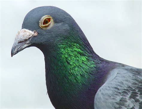 a homing pigeon takes a rest in dorset rolling harbour