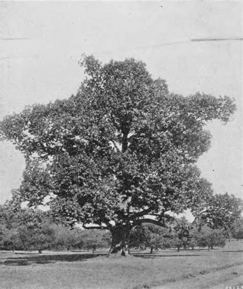 the american chestnut tree has a good shot at making a comeback 187 scienceline