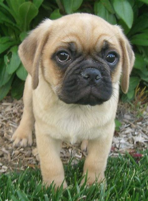 pug puggle mix welcome to annabel s canine where the place goes to