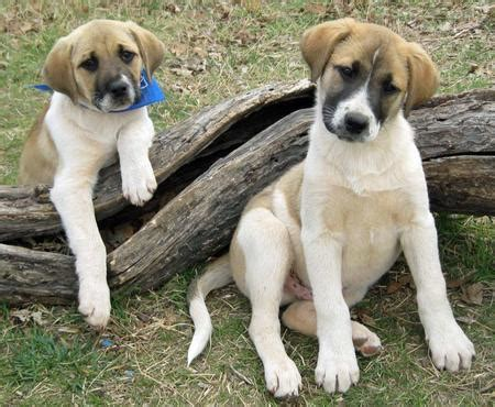 great pyrenees lab mix puppies for sale lab pyrenees mix puppies for breeds picture
