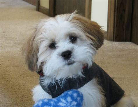 mini teddy puppies mini teddy puppies the world s cutest dogs