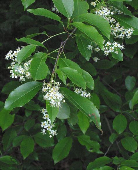 black and cherry tree prunus serotina
