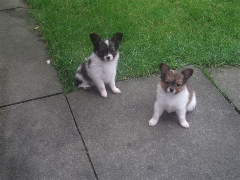 papillon puppies for sale papillon puppies for sale lancashire pets4homes