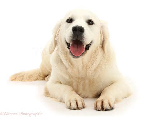 smiley golden retriever smiley golden retriever photo wp42080