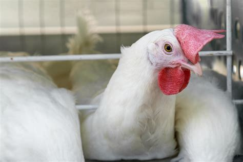 Vitamin Doc Ayam Petelur 5 nutrisi pakan ayam broiler yang penting dipenuhi