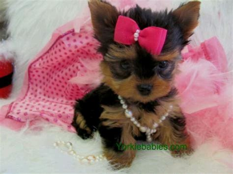 i want a teacup yorkie teacup yorkie so your will explode