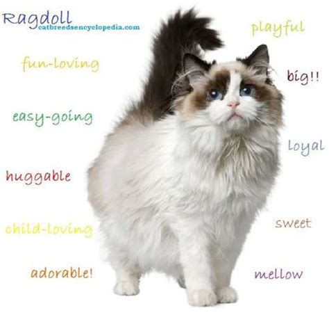 ragdoll cat size about the ragdoll la rosabella ragdolls